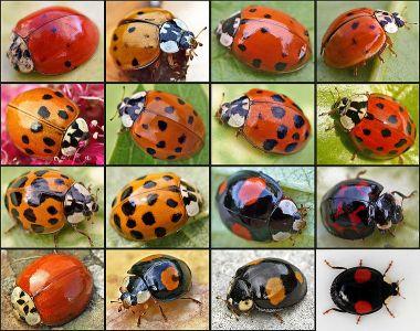harlequin ladybird invasion