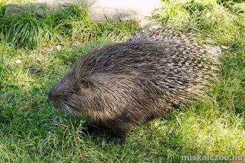 porcupine miskolc zoo